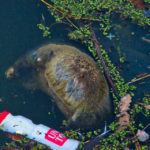 Dead animal Lake Burley Griffin Bridge to Bridge Gary Lum