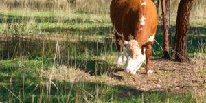 Cow grazing near Lake Ginninderra Gary Lum Sleep