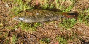 A fish out of water, carp by Lake Ginninderra Gary Lum