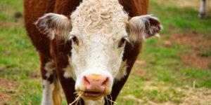 Cow in Ginninderra Gary Lum Diet Coke